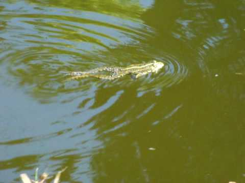 Frosch Im Teich Frog Swimming In A Pool Youtube