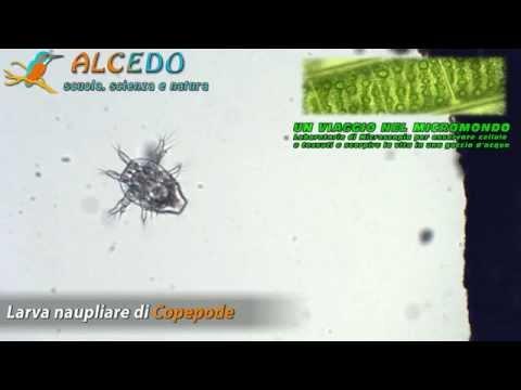 larva naupliare di copepode - UN VIAGGIO NEL MICROMONDO