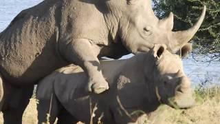 Kenya 2019 Part 5, Nairobi National Park 5 - Mating Rhinos!!