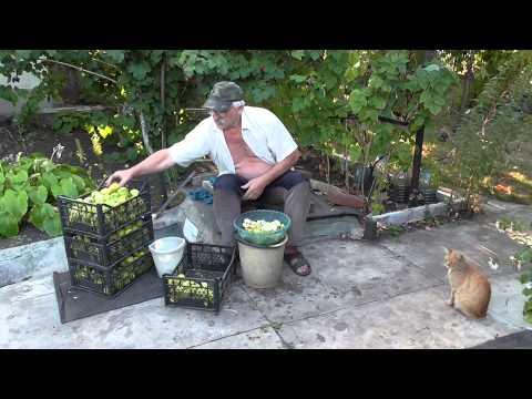 Как приготовить вино из яблок - видео