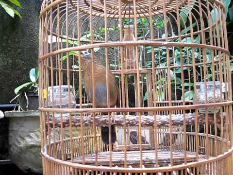 Chim hoa mi Ha Giang của Huy.AVI