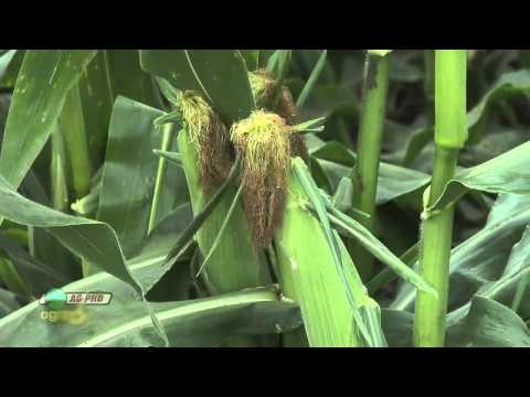 Farm Basics - Corn Tassels & Silks #691 (Air Date 7/3/11)