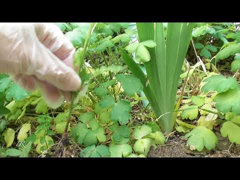 Ambrosia artemisiifolia - der Feind im Garten!!