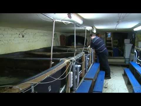 Выращивание рыбы (Новости ОТН, 02.12.14г., Бийск)