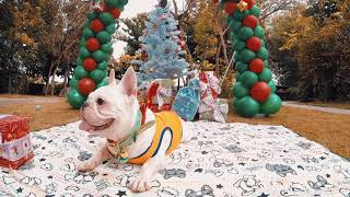 French Bulldog VVIP Group | @Kyle @Stacy Travel Video