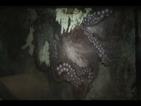 Octo-mom Darla and Her Eggs