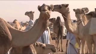 الاقتصاد والناس- تحديات تجارة الإبل في الدول العربية