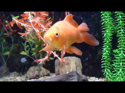 8 year old comet goldfish | funnycat.tv