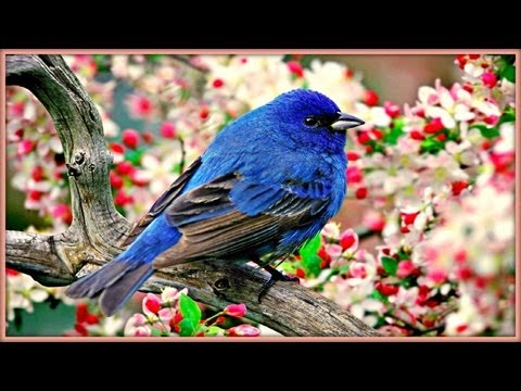 ~ Sound Therapy - Morning Birds ~
