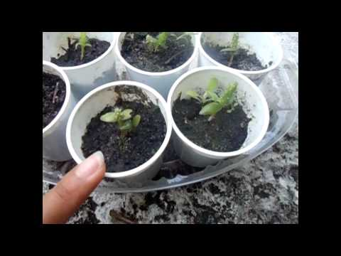 how to grow succulents from seeds youtube