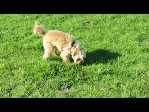 FIDDY Super Cavoodle ! Melbourne Dog Walkers