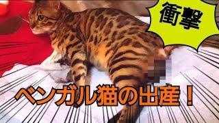壮絶!!ベンガル猫のベルの出産を一部始終レポート!