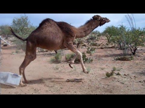 Camellos - Un camello es asustado por una caja