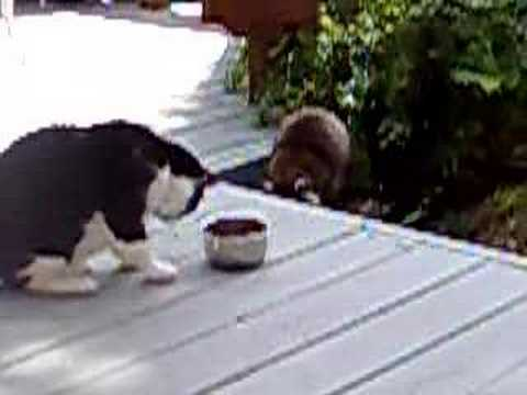 Kitty vs Raccoon