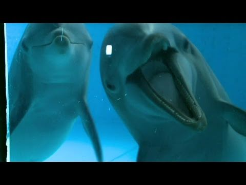 Could dolphin intelligence match humans?