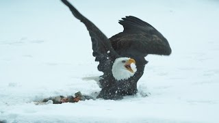 Bald Eagles clash - Alaska: Earth's Frozen Kingdom - Episode 3 Preview - BBC Two