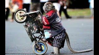 Atraksi  Motor Jumping - Topeng Monyet