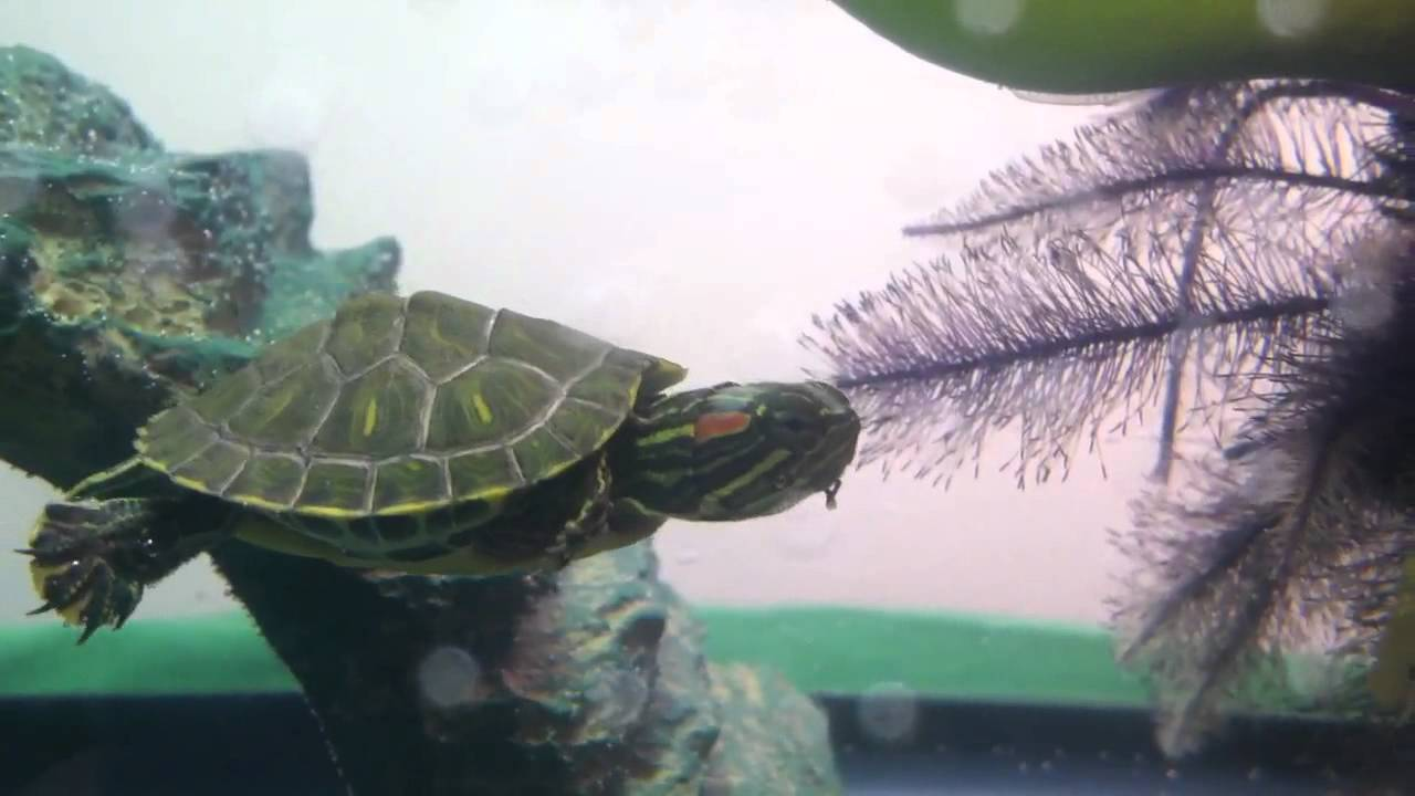Red eared slider turtles eating