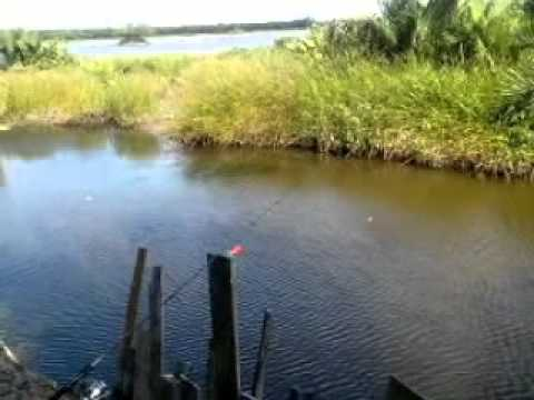 Mancing Ikan Besar Mancing Ikan Pepuyu Besar di