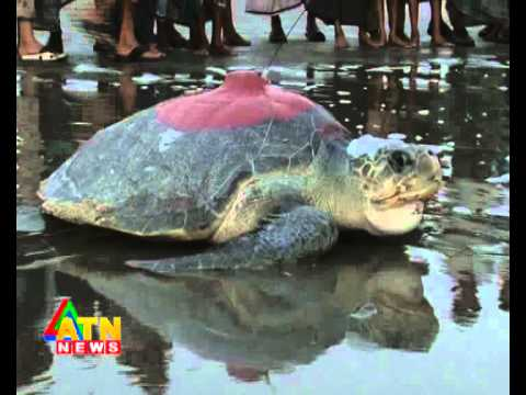 wildlife news of Bangladesh---olive ridley turtle---9