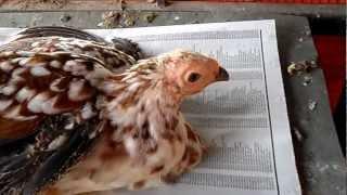 Guinea Fowl Hybrid.MP4