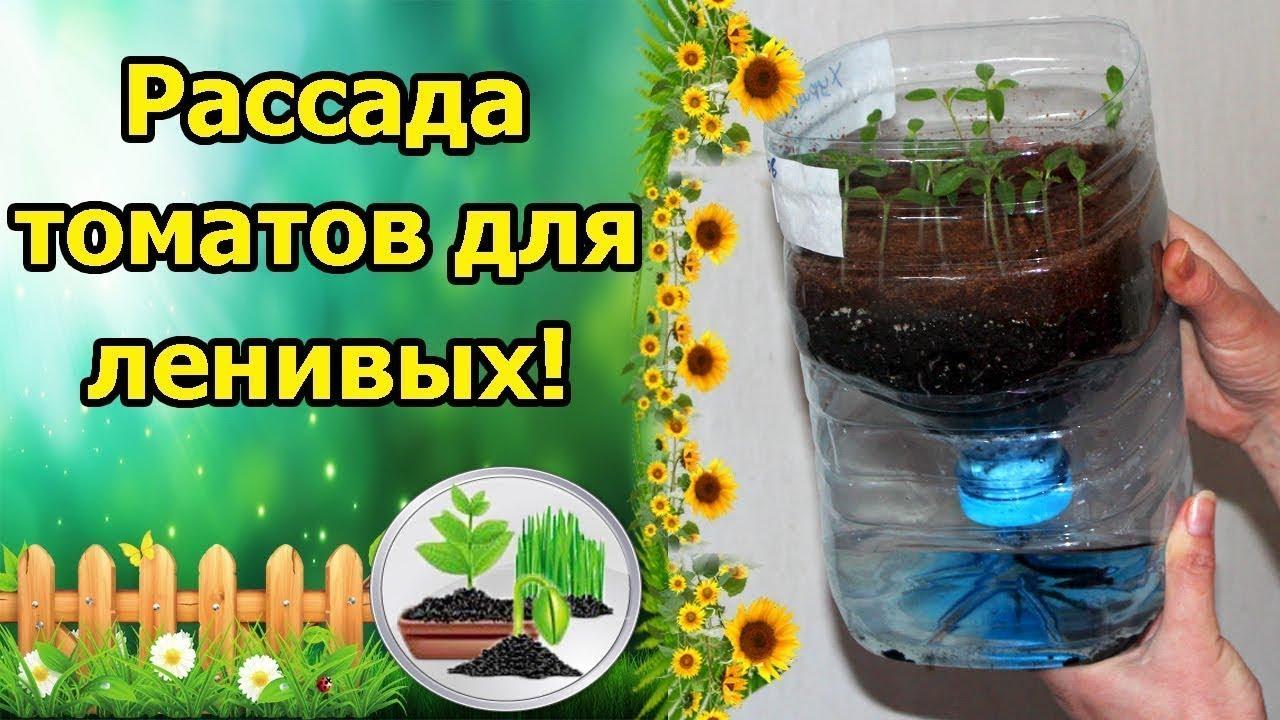 Метод выращивания томатов без полива 115