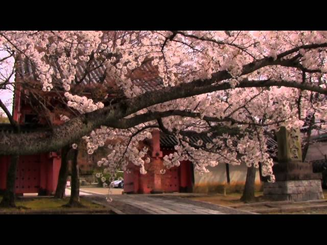 Sakura Hotspots in Kyoto2013!