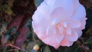 Flor de Camelia Blanca plantada en Maceta - Tips para fomentar la floracion - Camellia Japonica