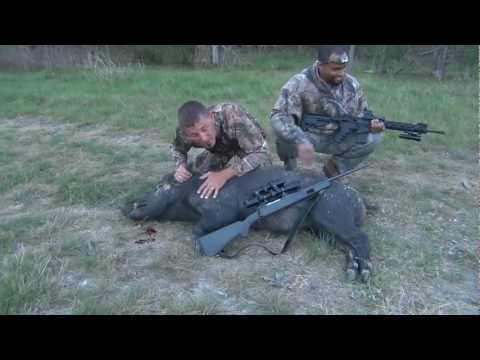Texas Feral Hog Hunting, 220# Boar Neck Shot  175 Yards, Intense Hog Fever! video