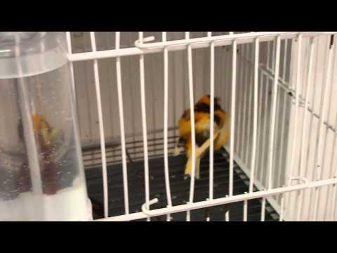 Viruela aviar en canarios