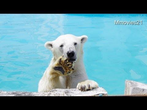 久しぶりのスイカ 相変わらず大人気~Polar Bears eat watermelon