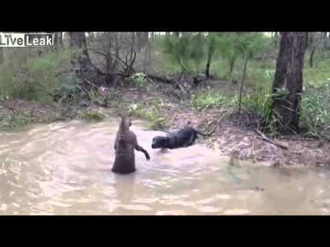 Sadis Pertarungan Kanguru vs Anjing