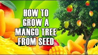 How to Grow a mango TREE From seed :) Easy way !