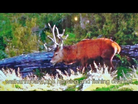 Hunting Red deer in New Zealand part 77