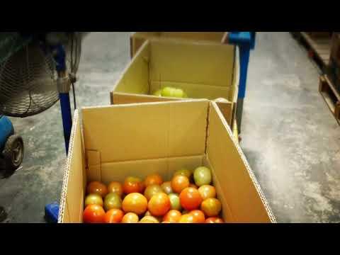 Cameron Highlands Tomatoes Harvesting Farm & Mill