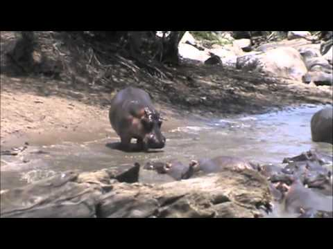 Angry Angry Hippos (Hippos Gone Wild)