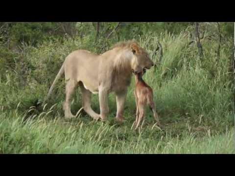 Leone a caccia grazia la preda e ci gioca