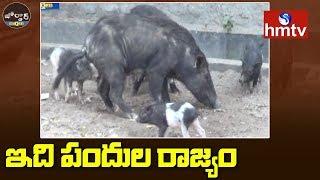 ఇది పందుల రాజ్యం | Pigs Hulchul in Jammikunta | Jordar News  | hmtv