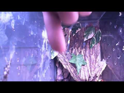 Avicularia Diversipes Tips of Breeding