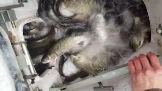 Salvaguardia della fauna ittica - Fipsas CREMONA