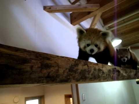 レッサーパンダ 茶臼山動物園 Ailurus fulgens