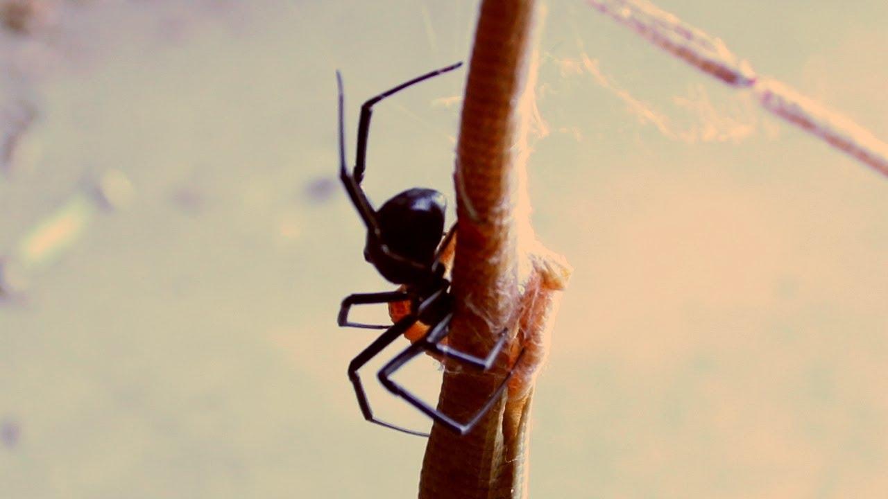 Lizards Eat Spiders Black Widow Spider vs And Eats