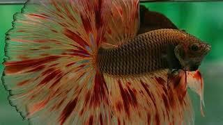 Những chú cá lia thia đẹp nhất quả đất