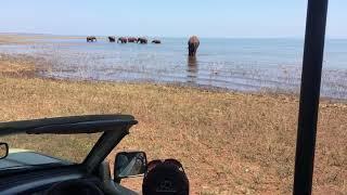 Elephants Feeding in Shallow Water