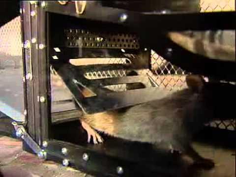 grosse lebendfalle rattenfalle mausefalle fuer mehr als 7 nager gleichzeitig maf01 youtube. Black Bedroom Furniture Sets. Home Design Ideas