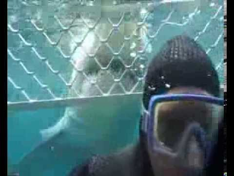 Tiburones blancos atacan Jaula
