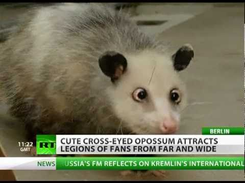 Heidi the Cross-Eyed Opossum: Germany's latest love