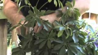 Bonsai Channel   Schefflera Pruning And Pest Control