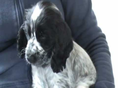 Cocker Spaniel Blue Roan Puppy Charlie Dog For Jo And Rob Xxx video