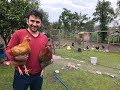 Tüm Kümesler Kaç Tavuk Kaç Horoz Var